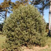 Location: Morton Arboretum in Lisle, IllinoisDate: 2019-11-24the bigger tree in the Conifer Collection