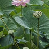 Location: Vladivostok, Primorsky Kraj, RussiaDate: 2010-08-27Sacred lotus (Nelumbo nucifera). Known also as Indian L