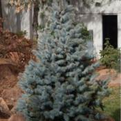 Location: At the Missouri Botanical Garden in Saint LouisDate: 06-12-2018Blue Spruce (Picea pungens 'Hoopsii') 002