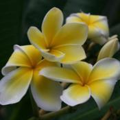 Location: At the Missouri Botanical Garden in Saint LouisDate: Spring, 2004Plumeria (Plumeria rubra 'Celadine') 001