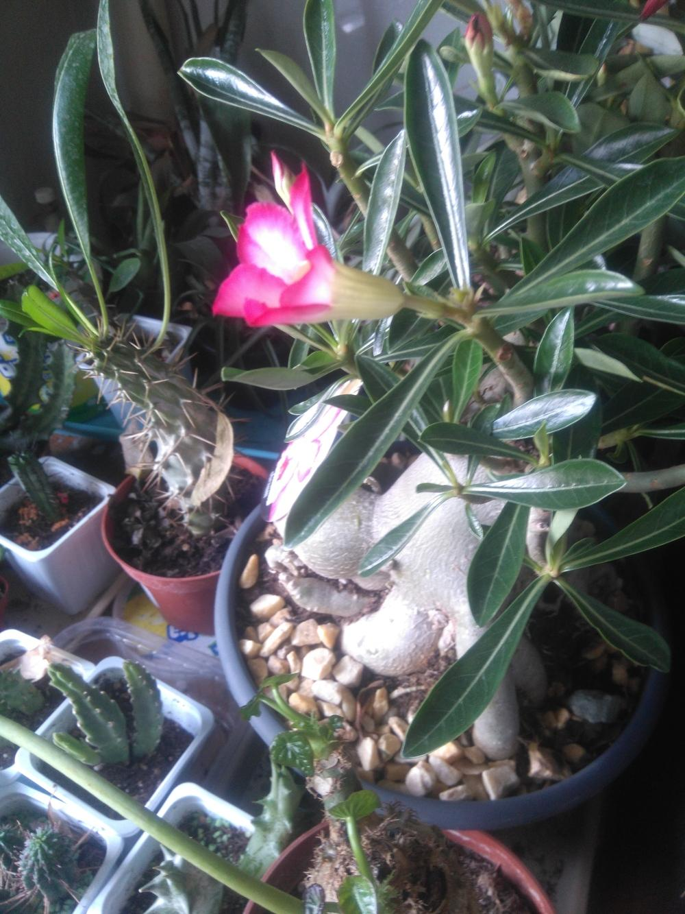 Photo of Adeniums (Adenium) uploaded by skopjecollection