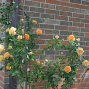 Location: In Billie's garden in Oklahoma CityDate: 04-15-2017Rose (Rosa 'Crown Princess Margareta') 001