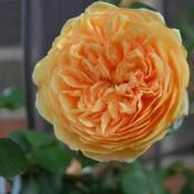 Location: In Billie's garden in Oklahoma CityRose (Rosa 'Crown Princess Margareta') 002