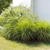 Location: Newtown Square, PennsylvaniaDate: 2011-08-05a few mature plants