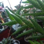 Date: 2017-05-16Obscured by aloe squarrosa