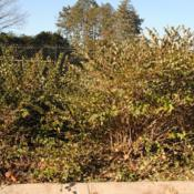Location: Morton Arboretum in Lisle, IllinoisDate: 2019-11-24a few shrubs together