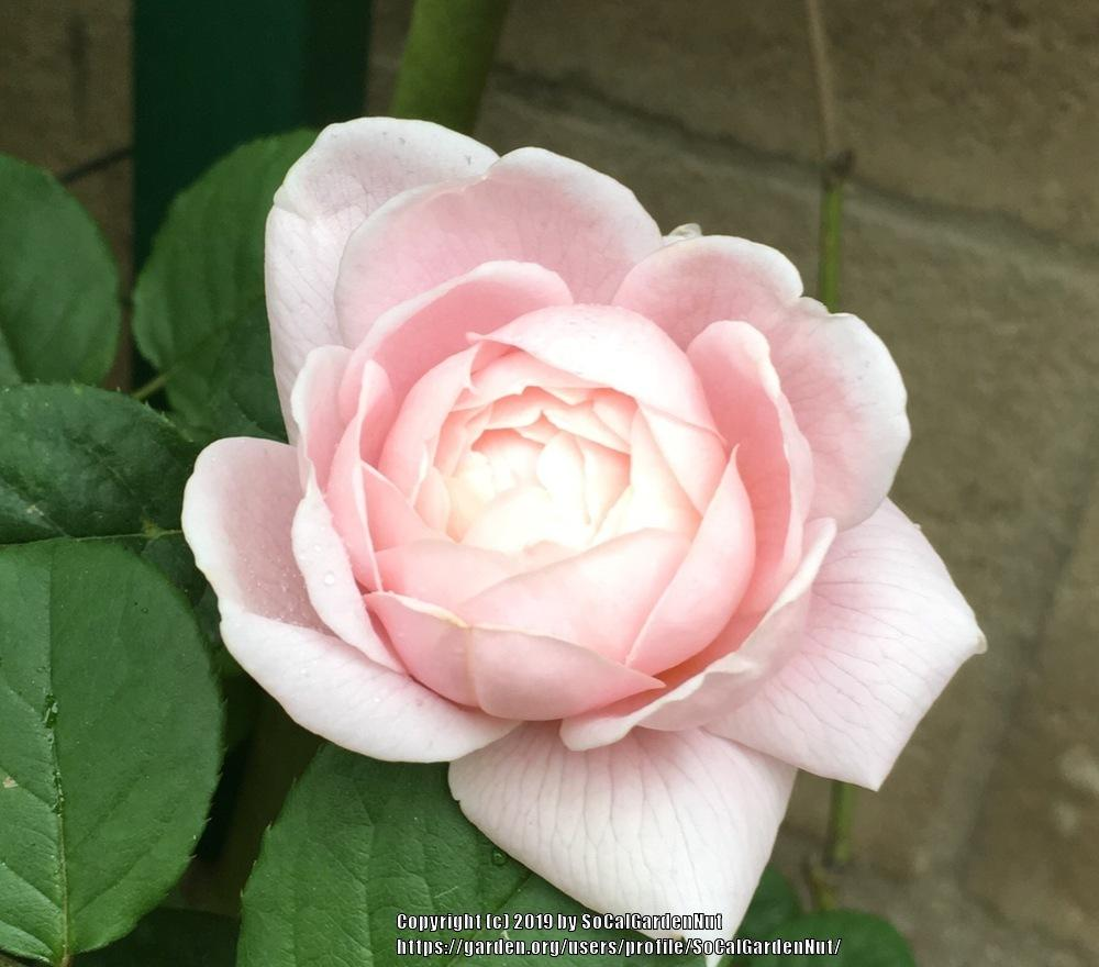 Photo of Rose (Rosa 'Queen of Sweden') uploaded by SoCalGardenNut