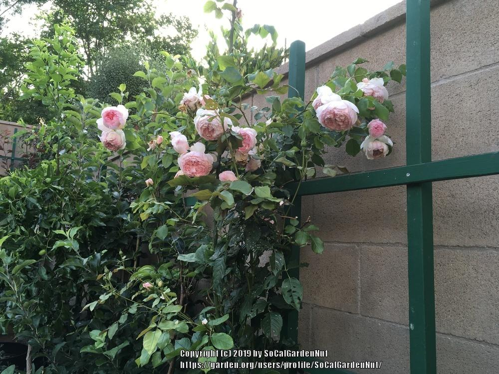 Photo of Rose (Rosa 'The Wedgwood Rose') uploaded by SoCalGardenNut