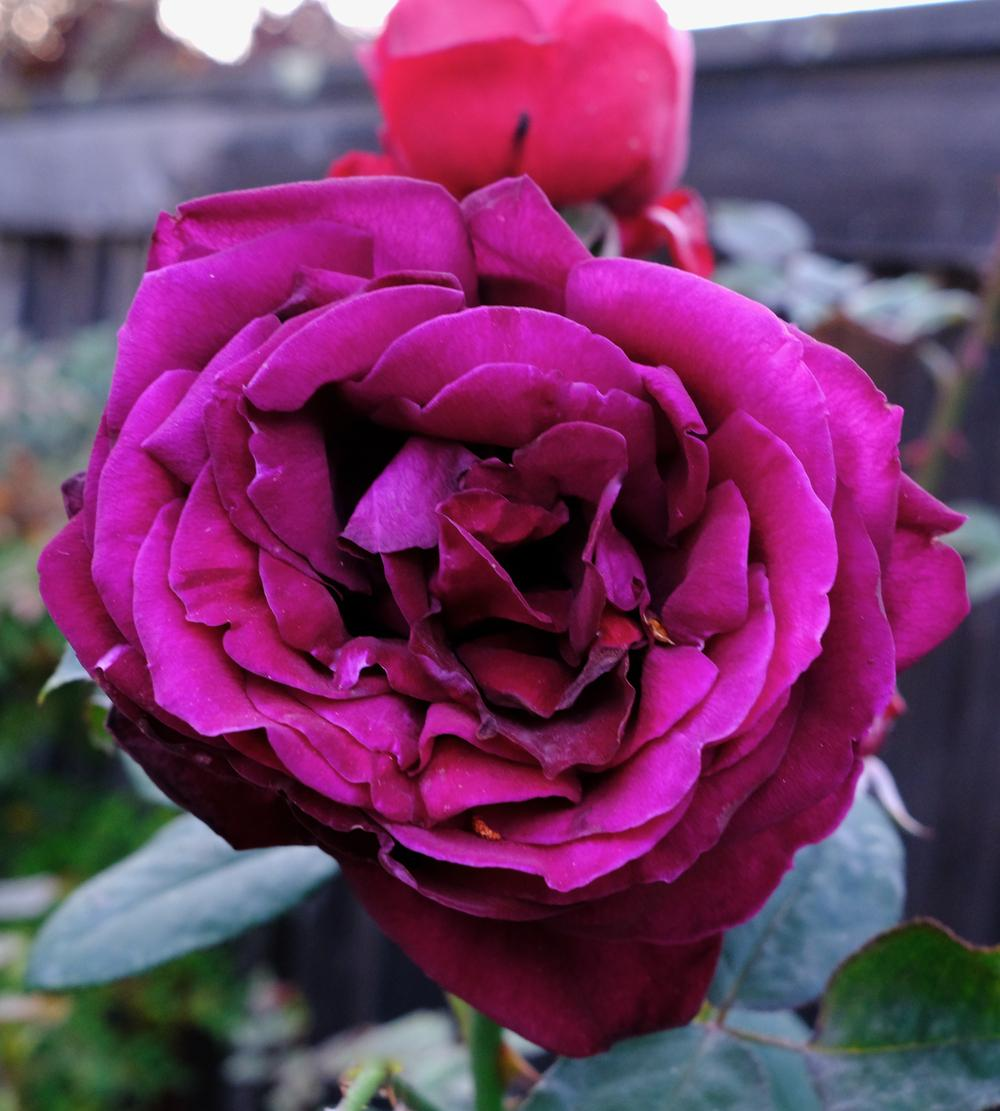 Photo of Rose (Rosa 'The Squire') uploaded by AnnKNCalif