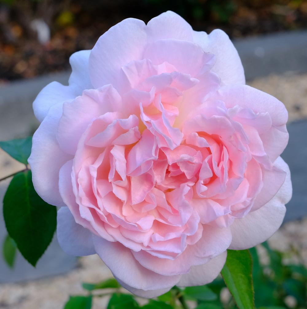 Photo of Rose (Rosa 'Eglantyne') uploaded by AnnKNCalif