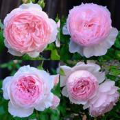 Collage showing some variability in The Wedgwood Rose