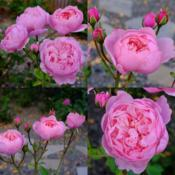 Collage of The Wedgwood Rose