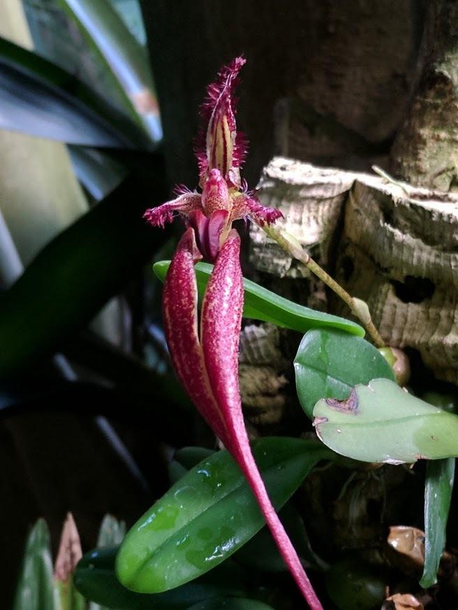 Photo of Orchid (Bulbophyllum Doris Dukes 'Bills Best') uploaded by Revhort