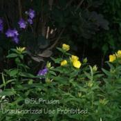 Location: Growing with Campanula persicifoliaDate: 2017-06-08My yard, zone 6