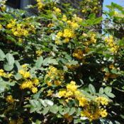 Location: Wayne, PennsylvaniaDate: 2012-04-07yellow flowers and spring foliage