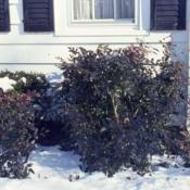 Location: Glen Ellyn, IllinoisDate: winter in 1980'stwo plants with winter purplish color