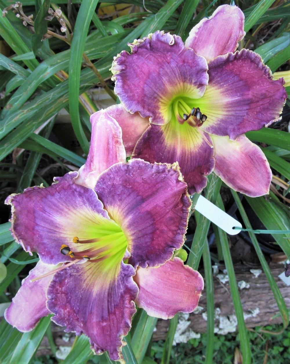 Photo of Daylily (Hemerocallis 'Guard Your Heart') uploaded by Sscape
