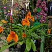 Location: OSCOV Show, Melbourne, Victoria, AustraliaDate: 2019-08-24Part of the Geelong Orchid & Indoor Plant Club display.