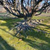 Location: St Louis - MoBOTDate: 2020-01-01Stately old tree at MoBOT