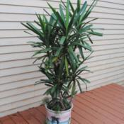 Location: Downingtown, PennsylvaniaDate: 2020-01-04indoor potted plant,taken outside for growing season