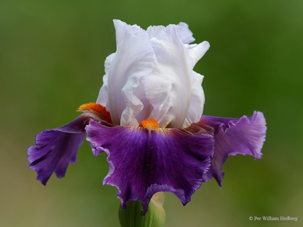 Photo of Tall Bearded Iris (Iris 'Moicano') uploaded by William