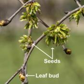 Location: Hidden Lake Gardens, Tipton, MichiganDate: 2019-04-27Camperdown Weeping Elm, Ulmus glabra 'Camperdownii'  Seeds and le