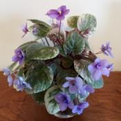 "Location: My trailing african violet houseplantDate: 2020-01-073 months since 1st post & 6"" tall & wide in full bloom"