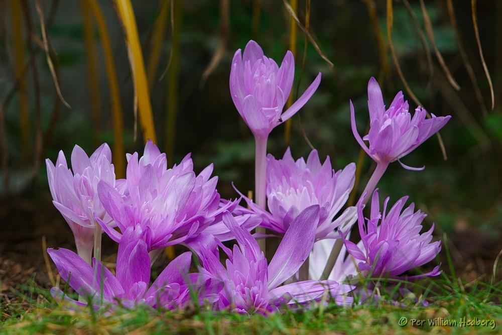 Photo of Autumn Crocus (Colchicum 'Waterlily') uploaded by William