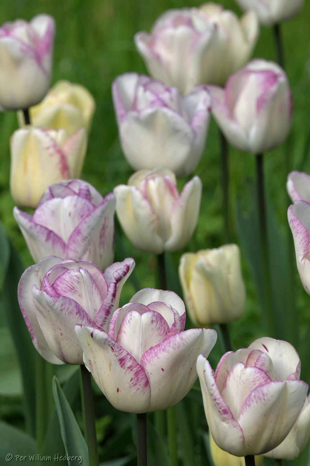 Photo of Triumph Tulip (Tulipa 'Shirley') uploaded by William