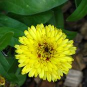 Location: Illinois, USDate: 2011-11-04Calendula NOID