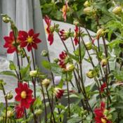 Location: Dahlia Hill, Midland, MichiganDate: 2019-08-23Bruidegom's S Red Velvet dahlia - this mignon single is more of