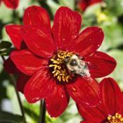 Location: Dahlia Hill, Midland, MichiganDate: 2019-09-14Bruidegom's S Red Velvet dahlia - another example of bees lovin
