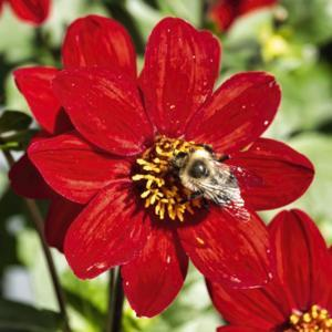 Bruidegom's S Red Velvet dahlia - another example of bees lovin