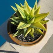 Location: So CalDate: 2020-01-14aka Aloe X 'Nobilis'