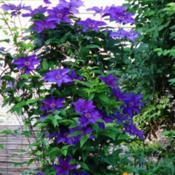Location: Illinois, USDate: 2011-06-05Purple Clematis NOID