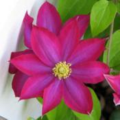 Location: Illinois, USDate: 2004-05-11Pink clematis NOID