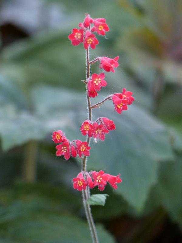 Photo of Coral Bells (Heuchera) uploaded by molanic