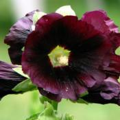 Location: Illinois, USDate: 2012-06-23Hollyhock NOID maybe  'Black Beauty'?