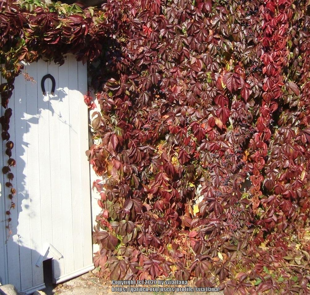 Photo of Virginia Creeper (Parthenocissus quinquefolia) uploaded by sviatlana