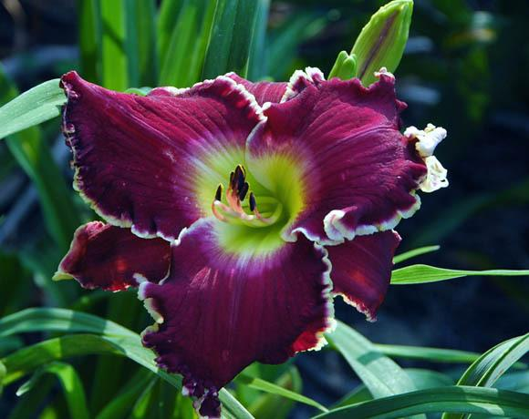 Photo of Daylily (Hemerocallis 'Nordic Soul') uploaded by shive1