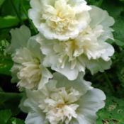 Location: Illinois, USDate: 2008-08-03Hollyhock NOID