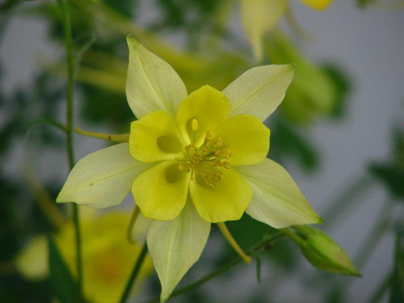 Photo of Columbines (Aquilegia) uploaded by molanic