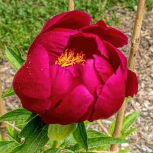 Bright Knight peony - partially open bloom