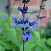 Location: My garden in Oklahoma CityDate: 2017-07-04Salvia guaranitica 'Black and Blue'