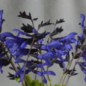 Location: My garden in Oklahoma CityDate: 10-14-2016Salvia guaranitica 'Black and Blue'