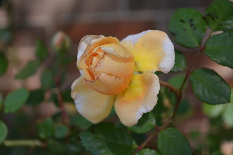 Photo of Rose (Rosa 'Crown Princess Margareta') uploaded by jathton