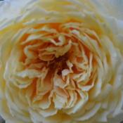 Location: Billie's garden in Oklahoma CityDate: 2017-08-20Rosa 'Crown Princess Margareta