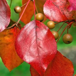 Callery pear tree foliage and fruit in fall