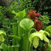 Location: at the Missouri Botanic Garden in Saint LouisDate: 2004-04-24Sarracenia x catesbaei and Sarracenia rubra subsp. alab