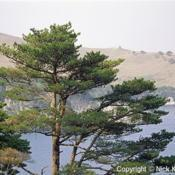 Location: Primosky Krai, RussiaDate: 2001Japanese Red Pine (Pinus densiflora). Wild tree in natural habita
